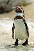 Humboldt Penguin - (Spheniscus humboldti)
