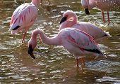 Flamingo menor