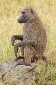 An olive baboon (Papio anubis) sitting on a rock, Lake Nakuru National Park, Kenya