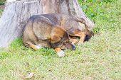 Thai Dog Sleep In Grass Yard