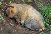 image of groundhog day  - a dead squirrel on the ground with blood - JPG