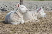 picture of spring lambs  - two young sweet lambs sitting down on a bed of dry straw on a sunny spring day - JPG