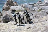 stock photo of jackass  - Jackass or African Penguin  - JPG