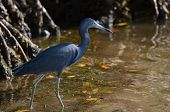 pic of cockroach  - Little Blue Heron walking in the water at Cockroach Bay - JPG