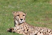 picture of cheetah  - Cheetah  - JPG