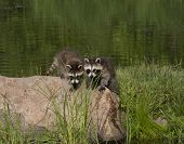 image of raccoon  - Two little raccoons standing on a rock next to a lake  - JPG
