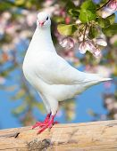 foto of pecker  - one white pigeon on flowering background  - JPG