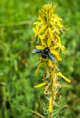 image of pollen  - Insect collecting pollen on a yellow flower Prespa Greece - JPG