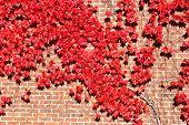 Herbst-Ivy