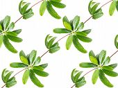 picture of creeper  - pattern of leaves creeper plant isolated on white background - JPG