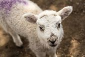 pic of spring lambs  - A close - JPG