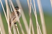 Pipit Bird In The Reed