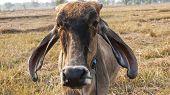 stock photo of cattle breeding  - American Brahman Cow Cattle a Closeup Portrait - JPG