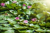 image of lilas  - Pink water lily in the sunrays - JPG