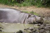 foto of hippopotamus  - photo of the pygmy hippopotamus  - JPG