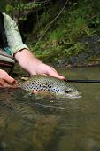 stock photo of caught  - Closeup of brown trout caught by fisherman - JPG