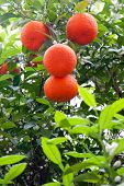 image of tangerine-tree  - Beautiful tangerines fruits on a tree in the sun light - JPG
