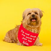 foto of cross-breeding  - Little mixed breed dog with long hair on yellow background and the text not small but world is too big - JPG