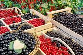 pic of crate  - Black And Red Currants Berries Harvest In The Wood Crate And Red Curant Bush In The Summer Garden Background - JPG
