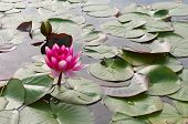 image of day-lilies  - Water Lilies flower in the pond on a warm day - JPG