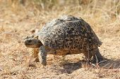 image of tortoise  - Leopard Tortoise slowly on the move on a sunny day - JPG