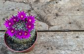 picture of cactus  - Beautiful violet blooming cactus on wooden background - JPG