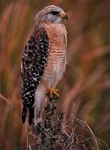 stock photo of hawk  - The Red Shoulder Hawk in the Florida Everglades - JPG