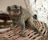 image of titi monkey  - A baby common marmoset on a basket - JPG
