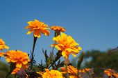 picture of marigold  - Marigold flowers are blooming in the garden - JPG