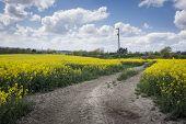 stock photo of rape-seed  - A dirt track leading into a farmers field of yellow rape in flower - JPG