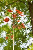 foto of maple tree  - Close - JPG