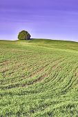 picture of lonely  - Lone Tree on a meadow in landscape - JPG
