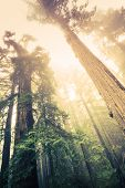 stock photo of redwood forest  - Forest of the Giants - JPG