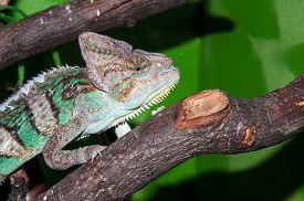 picture of chameleon  - The veiled chameleon Chamaeleo calyptratus is a large species of chameleon found in the mountain regions of Yemen the United Arab Emirates and Saudi Arabia - JPG