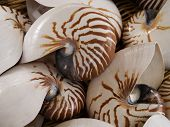 image of pearlescent  - Background of nautilius shells in a basket - JPG
