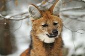 Maned Wolf In Winter