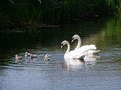 Swans Stuartfield 7606