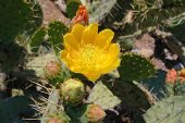 image of xeriscape  - bright yellow cactus blossom surrounded by closed buds awaiting their turn in the sun - JPG