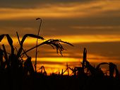 Sunset In The Corn 2