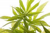 Fresh Marijuana Plant Leaves On White Background poster