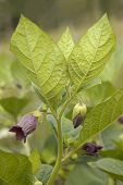 Deadly Nightshade - Atropa belladonna