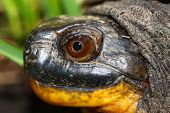 Tartaruga Blandings (Emydoidea blandingii)