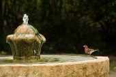 Small Red And Brown Bird Sets On Edge Of Old Fountain Staring Up At Flowing Water.