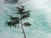 picture of mckenzie  - cedar sapling growing on bank of rushing mckenzie river in oregon - JPG