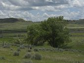 picture of cottonwood  - A Cottonwood tree in Southern Black Hills of South Dakota - JPG