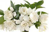 bouquet gardenia plant isolated on white;