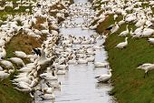 Snow Geese Flock Drinking Water Feeding Close Up Skagit County W