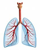 Lungs - pulmonary system. Front view, isolated on white
