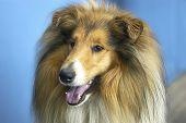 Dog -  Collie