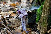 Paarse Mushroom